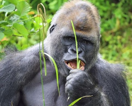 Armed robbers stole money in Kano Zoo not Gorilla – MD