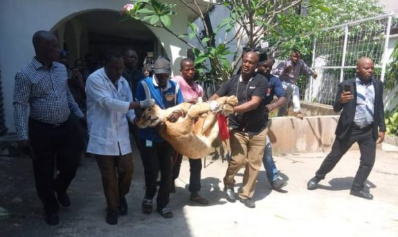 LASG evacuates lion from private residence to Lekki Zoo