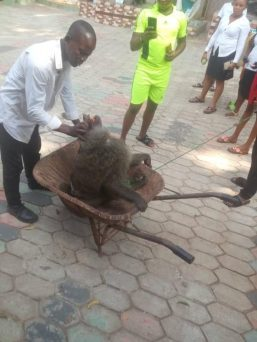 Baboon Recaptured After Escaping From Psychic Centre